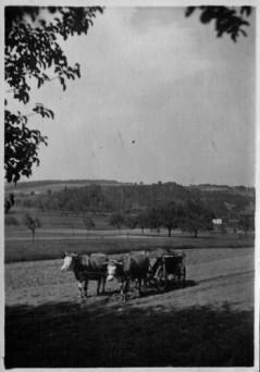 003-1927-1929-Ochsengespann-4